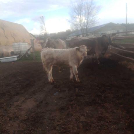Byczki, odsadki, Charolaise, Limousine