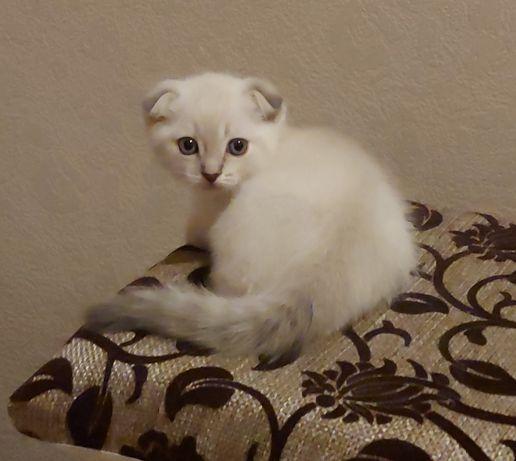 котенок, белый шотландец вислоухий, мальчик