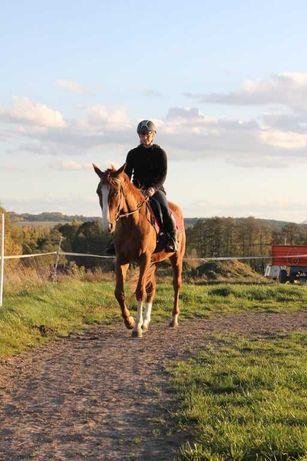 Wałach, mały koń, 3,5 lat