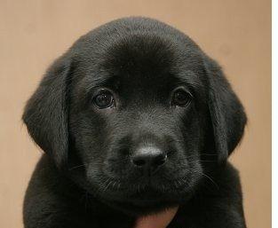 Лабрик щенок ретривер