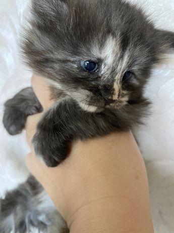 Kot Norweski Leśny szylkretka kocia piekność