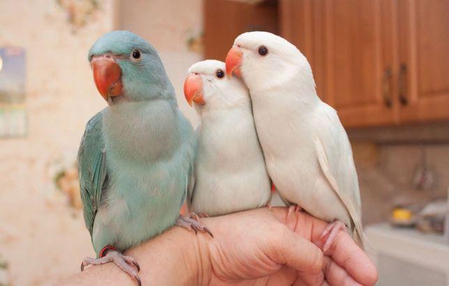 Ожереловые попугаи Говоруны молодые птенцы