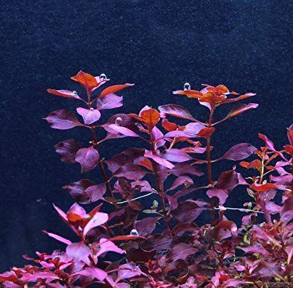 Ludwigia Palustris - Planta Aquática