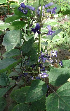 Семена клематиса борщевиколистного