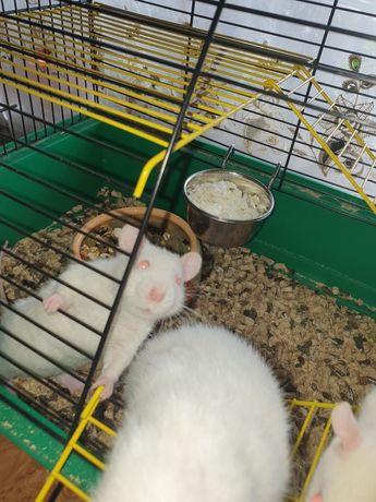 Продам белых крысок