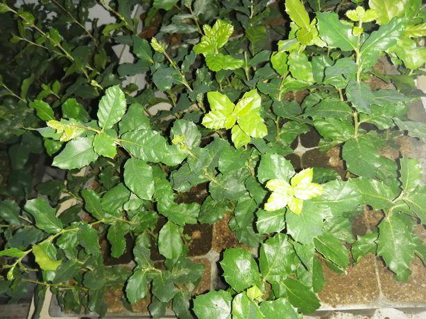 Sobreiros Alentejanos (Quercus Suber)