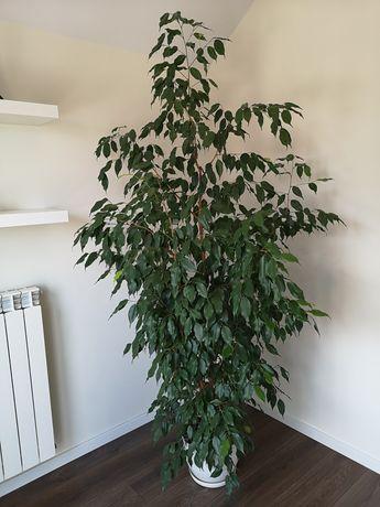 Ficus Benjamina 200 cm, Benjamin, roślina pokojowa