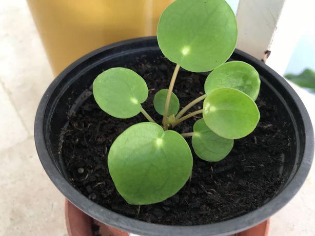 Philea peperonia