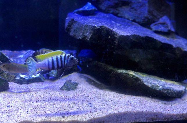 Młode Pyszczaki malawi Cynotylapia zebroidoes jalo reef ryby akwarium
