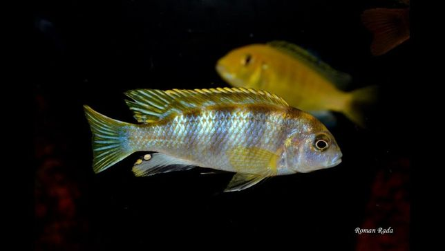 Pyszczak Labidochromis perlmutt elblag