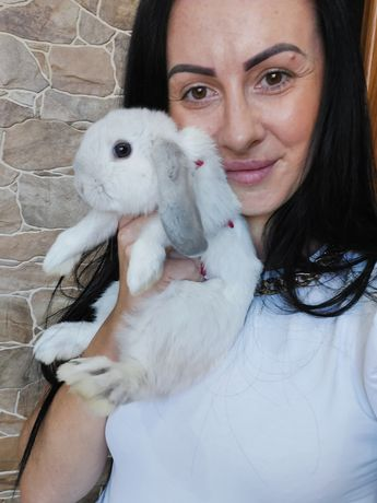 Mini lop królik/karzełek teddy