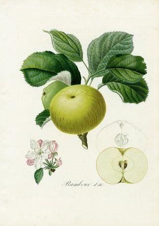 1846 r. OWOCE I reprodukcje XIX w. grafik do aranżacji wnętrza