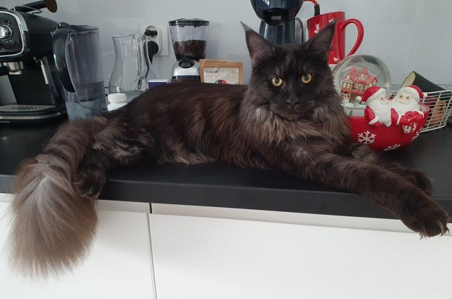 Kocur Maine Coon