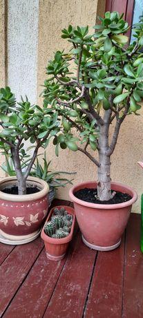 Грошове дерево (вазон)