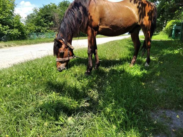 Продам спокійного коня