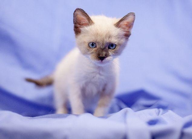 Красавица Зара котенок 1.5 месяца белый с примесью (сиамский) окрас