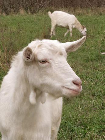 Продам козу зааненку 75%