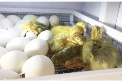 Мулард!яйцо инкубационное!Срочно по старой цене!