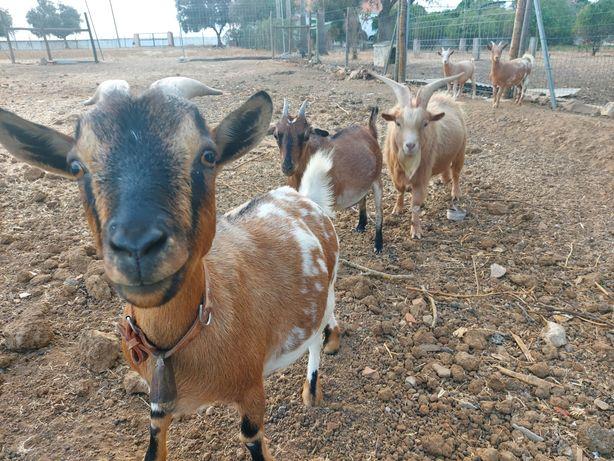 Cabras anãs biológico
