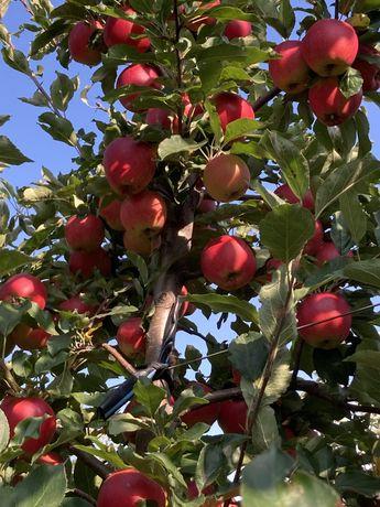 Продам Яблука  різних мортів Галла ,чемпіон