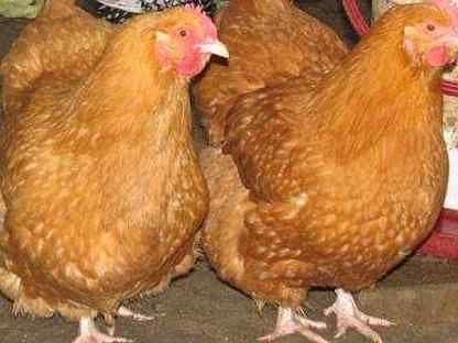"""Куры-несушки """"Фокси Чик"""" 1,5 мес., Венгрия - на яйцо"""