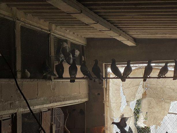 Vendo pombos baratos