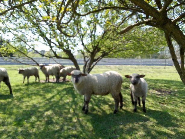 Sprzedam owce owca czarnogłówka. Jagnię.