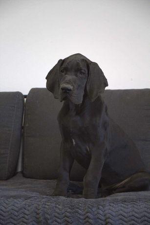 Dog Niemiecki szczeniak pies czarny ZkwP FCI