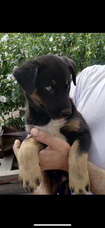 Продам щенка Хаски лабрадор