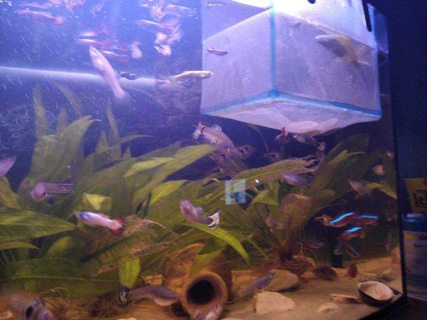 Rybki akwariowe Gupiki pawie oczko
