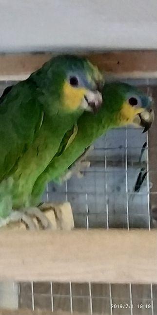 Папуг Амазон