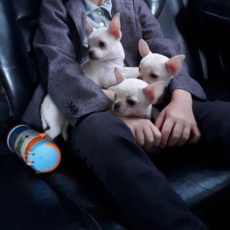 Маленькі собаки-компаньйони шукають люблячу родину!