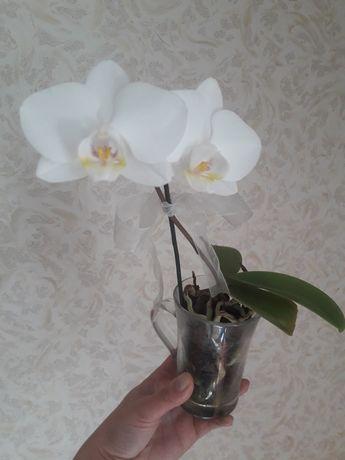 Детка орхидеи. Белая.