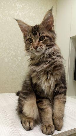Доставка по Украине Чистокровный Мейн-кун кот