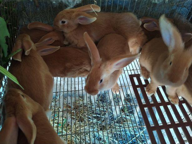 Vendo coelho Leonardo Vergonha