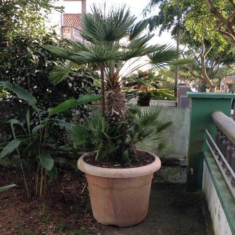 Palmeira de leque Grande.