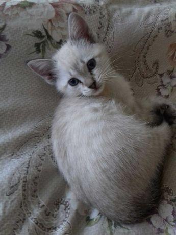 Милый котенок-девочка, сиамский метис ищет своего хозяина.