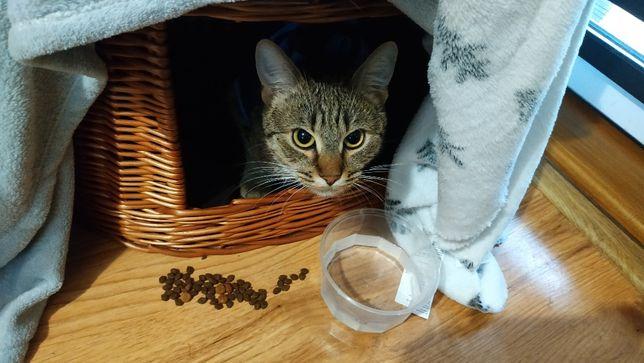 Zaginęła szara(lekko rudawa) kotka