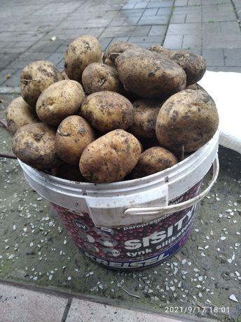 Картошка домашня, велика.