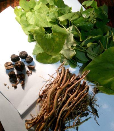 Кирказон (филейник) лікувальна трава