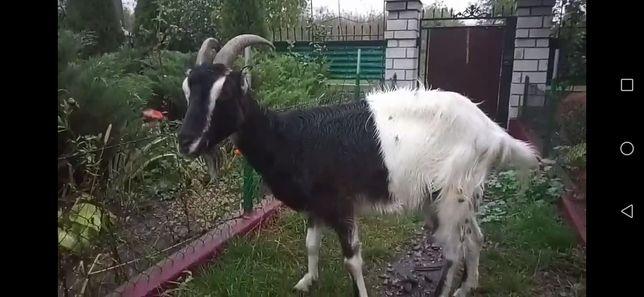 продам козу ламанча!