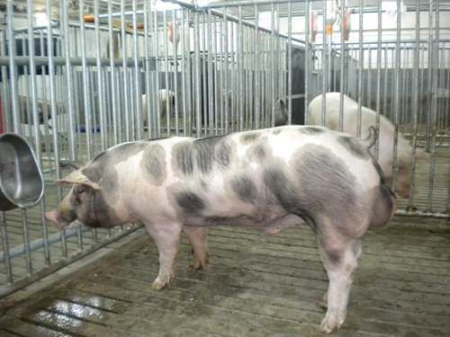 Спермопродукція, штучне осіменіння свиней