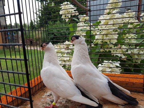 Sprzedam gołębie krymki hamburskie para