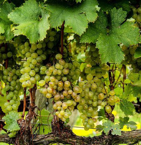 Uvas Brancas DO Alentejo & IGP Alentejano p/ produção de vinho