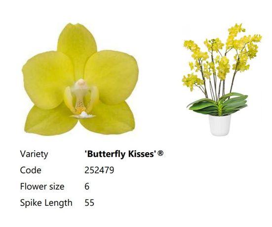 Phal. Вutterfly Kisses адаптированный подросток орхидеи