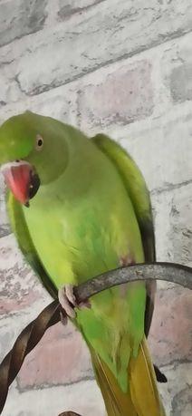 Ожереловцй попугай