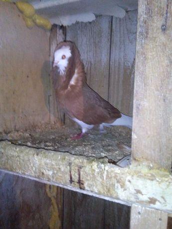 Kapucyn samiec żułty