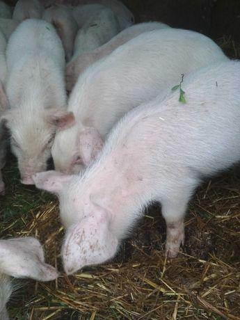 Поросята свині цена 1000грн. Одне