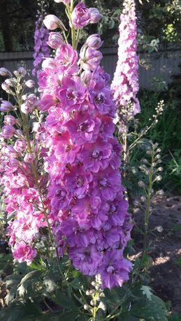 Продам цветы(дельфиниумы, каллы ,сон-траву ,бругмансии ,морозники)
