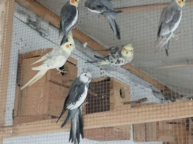 Papugi nimfy dorosłe